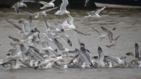 Incrementar la vigilancia y control de gaviotas en la zona urbana